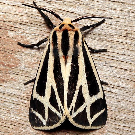 Apantesis phalerata - male