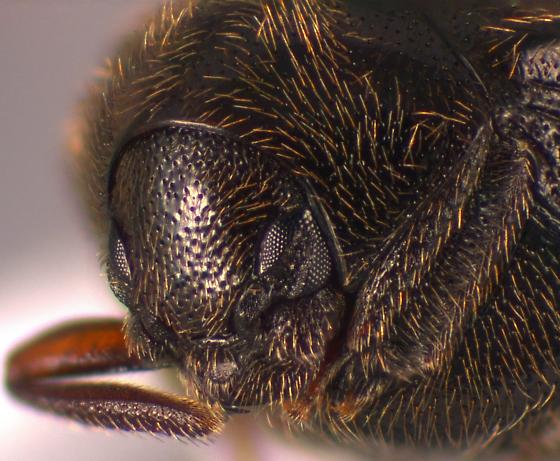 Beetle - Caenocara