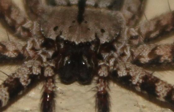 Spider - Selenops insularis