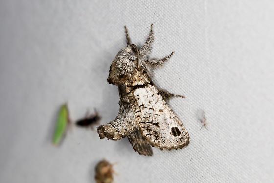 Inguromorpha sp. – Unidentified Inguromorpha Moth - Inguromorpha n-sp