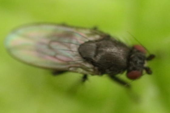 Blurry fly - Leptocera