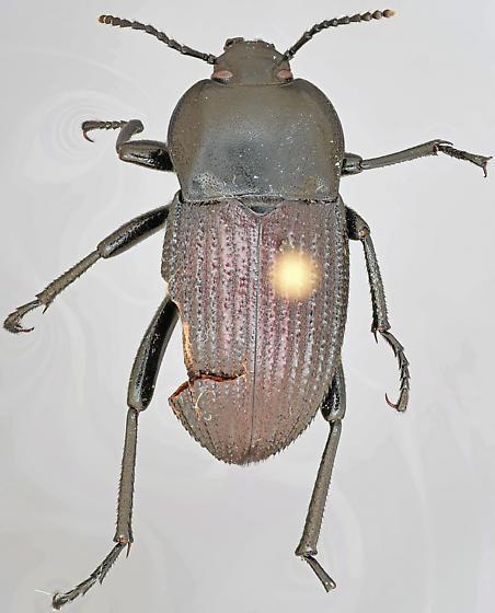 Beetle, dorsal - Eleodes tricostata