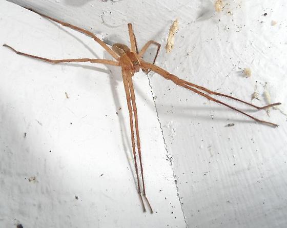 spider - Pisaurina mira - male