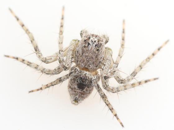 Spider - Hamataliwa grisea