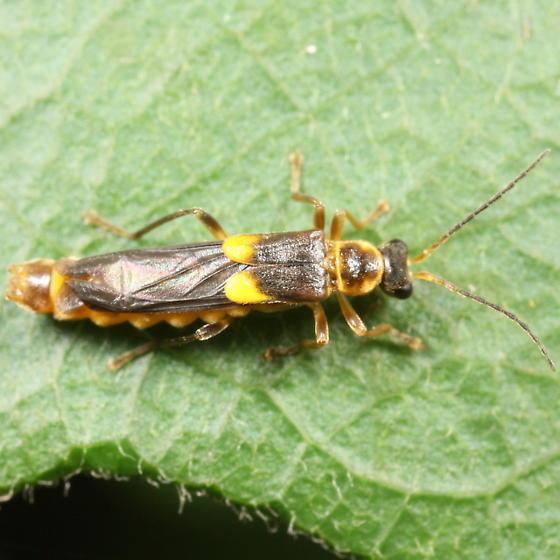 Trypherus - Trypherus latipennis