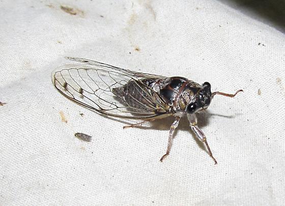 Unkn Cicada - Diceroprocta knighti