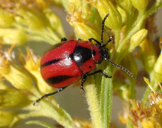 Chrysomelidae sp ? - Entomoscelis americana