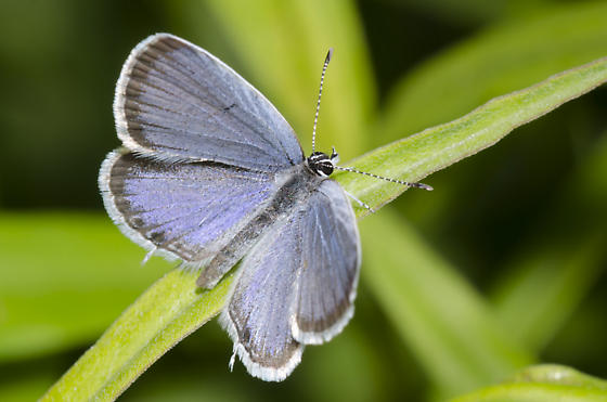 Eastern Tailed-Blue - Cupido comyntas - male