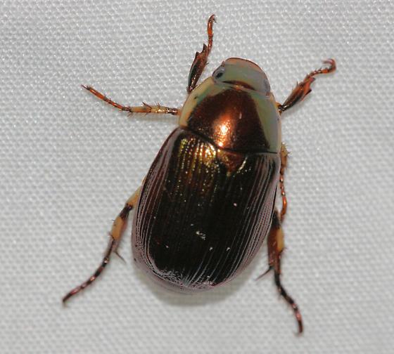 Beetle 1 - Callistethus marginatus