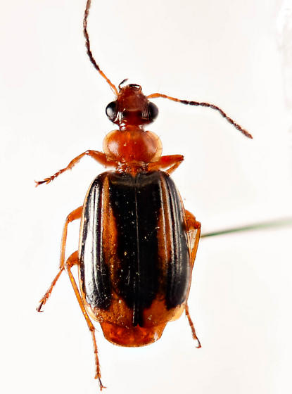 Yet another Lebia? - Lebia solea