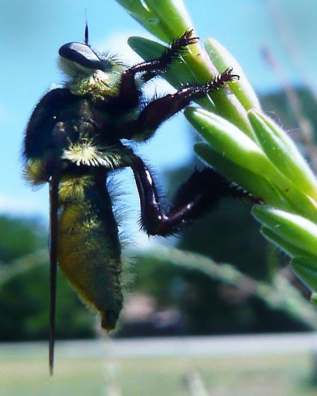 Purple & Yellow Robber Fly - Mallophora fautrix - male