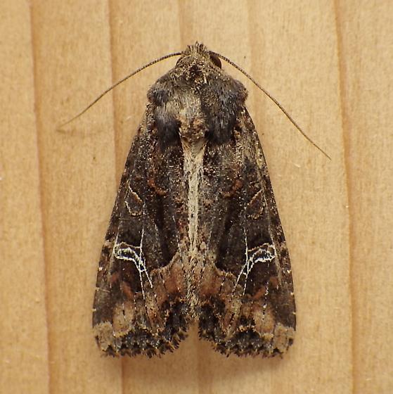 Noctuidae: Helotropha reniformis - Helotropha reniformis
