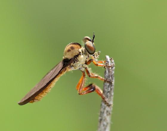 Holcocephala