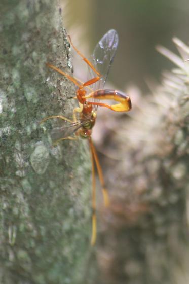 Ichneumonidae - Grotea anguina - female