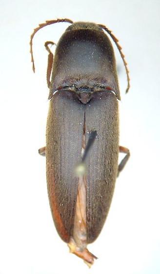 Mulsanteus - Diplostethus texanus - male