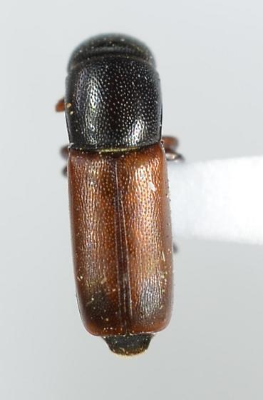 Monotomidae - Rhizophagus? - Pityophagus rufipennis