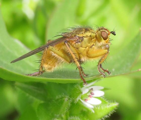 Scathophaga stercoraria? - Scathophaga stercoraria - male