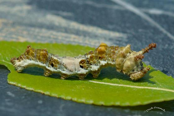 Unknown larvae - Limenitis
