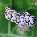 Harlequin Bug - Murgantia histrionica - Murgantia histrionica