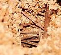 Ants - Camponotus americanus