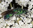 Cuckoo wasp IMG_9938