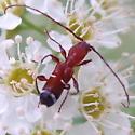 Which flower longhorn? - Euderces pini