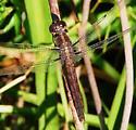 Dragonfly ID help. - Libellula incesta