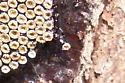Insect eggs? - Arilus cristatus
