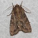 Confused Woodgrain - Hodges#10521 - Morrisonia confusa