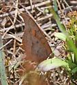 Goatweed Leafwing?  - Anaea andria