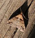 moth01 120514 - Lascoria ambigualis
