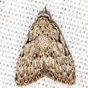 Sweet Pepperbush Nola Moth - Hodges #8996 - Nola clethrae