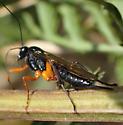 Ichneumon sp ? - Pimpla pedalis - female