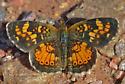 Butterfly 2662 - Phyciodes batesii