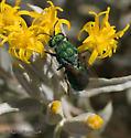 Cuckoo Wasp -Parnopes edwardsii (or fulvicornis?) - Parnopes edwardsii - female