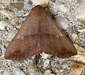Moth in Breezeway - Panopoda rufimargo