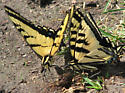 Western Tiger Swallowtail? - Papilio rutulus - male