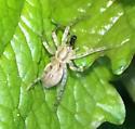Tiny Spider on Garlic Mustard Leaf