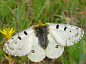 Rocky Mountain Parnassian - Parnassius smintheus - male