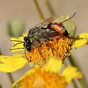 Black and Orange Wasps Mating - Podalonia - male - female