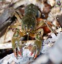 Cambarus diogenes - Devil Crayfish - Cambarus diogenes