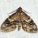 Gold-lined Melanomma Moth - Melanomma auricinctaria - male