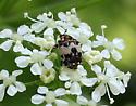 Which beetle (or bug), please? - Anthrenus pimpinellae