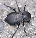 AZ072911 Beetle - Stenomorpha