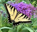Tiger Swallowtail  - Papilio glaucus