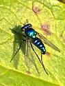 Blue long-legged fly - Condylostylus mundus