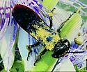 Pygodasis quadrimaculata? - Pygodasis quadrimaculata - female