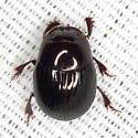 Dung Beetle - Ateuchus