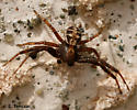 Crabby dude - Xysticus - male