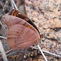 dark buckeye - Junonia evarete